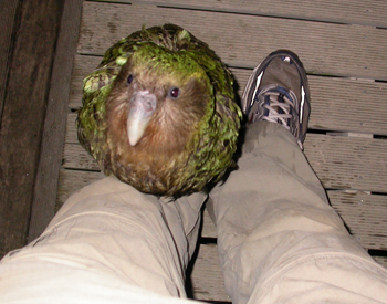 Sirocco parrot, New Zealand